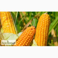 Насіння кукурудзи ГРАН 310 (ВНІС)2016р