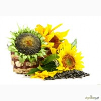 Насіння соняшника гібрид Лімагрейн Тунка