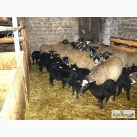 Продам вівців