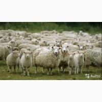 Куплю овец ярок баранов породы меринос