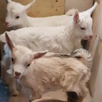 Продам козлят и козу полузааненской породы, Старый Салтов