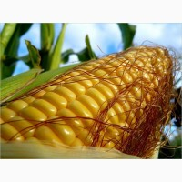 Купим кукурузу оптом с места от 25-500т.любая форма расчёта.качество-база