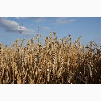 Пшениця Ленокс 1р
