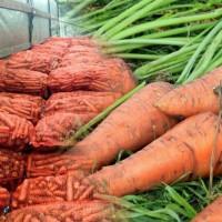 Морква крупний опт