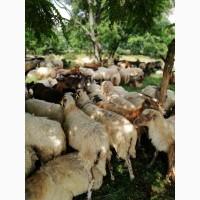 Продам коз, овец, ягнят, живым весом