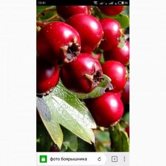 Купим сухие плоды боярышника, сухие плоды, самовывоз от 1т