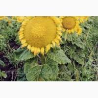 Посевной материал Подсолнечник Соняшник Мачете (под евролайтинг)