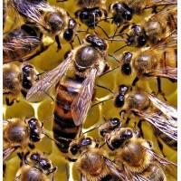 Пчеломатки - Плодная матка - порода Карпатка - тип Вучковский 2019