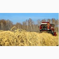 Куплю пшеницу оптом. Есть возможность самовывоза