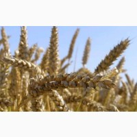 Овидий новинка безостый засухо устойчивый сорт пшеницы