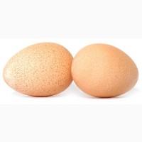 Предлагаем Вам инкубационное яйцо Испанка, Мастер Грей, Редбро, Фокси Чик, Гриз Бар