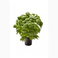 Базилик зелёный в горшочках продам