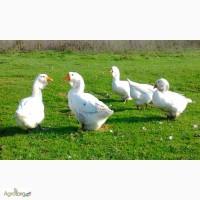 Продажа инкубационных яиц гусей Холмагор.Доставка по всей Украине