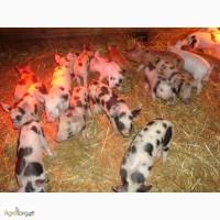 Продам поросят мясной породы весом 20-30кг