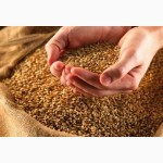 З А К У П И М в большом объеме кукурузу, пшеницу, ячмень и др