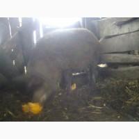 Продам свиноматку венгерской пуховой мангалицы
