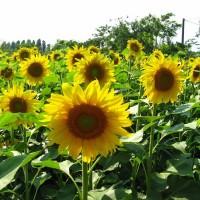 Реалізуємо високоякісне стійкі до засухи насіння соняшнику