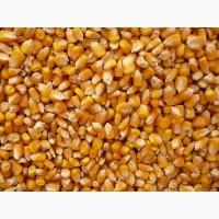 Куплю оптом кукурудзу