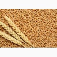 Предприятие на постоянной основе закупает пшеницу 2, 3 класса, фураж