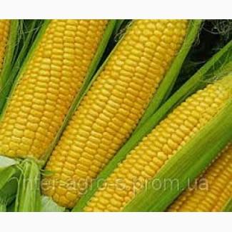 Продам високоврожайну кукурудзу ВН 63 ( ФАО 280)