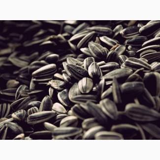Дорого купляємо насіння соняшника у виробника