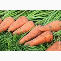 Морковь продажа оптом