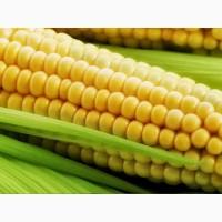 Семена кукурузы ДКС 4685 (ФАО 340) /Монсанто