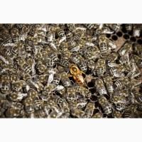 Бджолопакети недорого