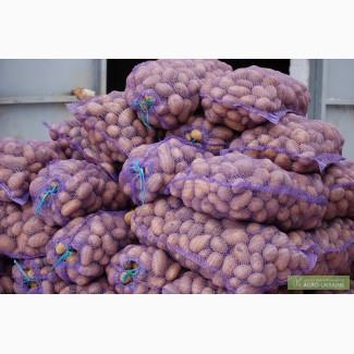 Продам картошку сорт бела роса славянка ривьера калибр 5