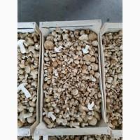 Куплю гриб Рядовка травнева (Калоцибе травнева, Tricholoma georgii) по всій Україні