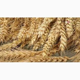 Куплю пшеницу. Постоянно