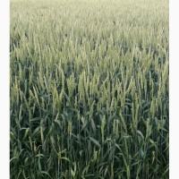 Трансгенная Пшеница канадская сорт Toleda