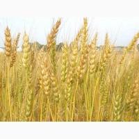 Семена пшеницы озимой твердой Амазонка, 208-287 дней, 66, 7-74, 7 ц/га