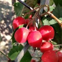 Свежие плоды боярышника полумягкого. Опт