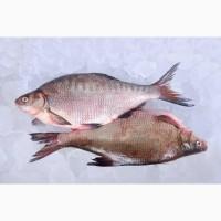 Речная рыба опт. Карась, густера, синец, плотва, лещ и др