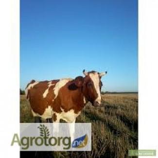 Корова, нетель, телка, Украинская красно-пестрая, красно-рябый молочный голштин