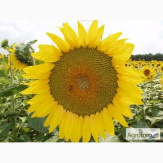 Продам насіння соняшнику гібриду Гулівер (кондитерський)