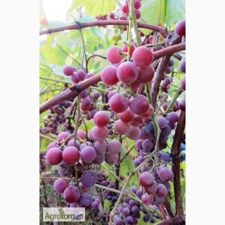 Саджанці неукривного винограду