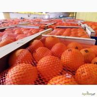 Апельсины Марокко: MAROC LATE-очень СЛАДКИЕ