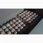 Яйцо инкубационное бройлер Росс-708.Польша