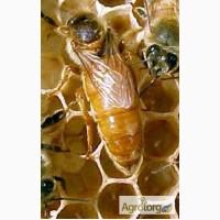Пчеломатки итальянская порода