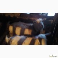 Терміново продам козу, кіз