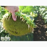 Семена подсолнечника НС Фантазия высокоурожайный, высокоолийний гибрид Нертус