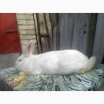 Кролики порід: Каліфорнія, Панон, Полтавське срібло