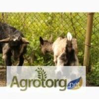 Продаю племенные кози зааненско-альпийская альпо-ламанч порода