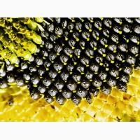 Продамо насіння соняшнику під класичну технологію