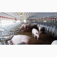 Продам свиней на убой