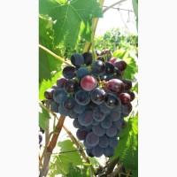 Продам столовый виноград