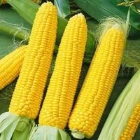 Кукуруза Любава семена