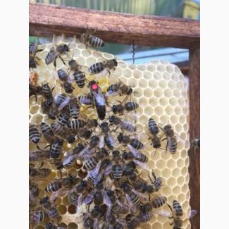 Пчеломатка (Пчелиные матки) Карпатка 2019 года, ПЛОДНЫЕ в Наличии